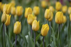 Entre tulipanes